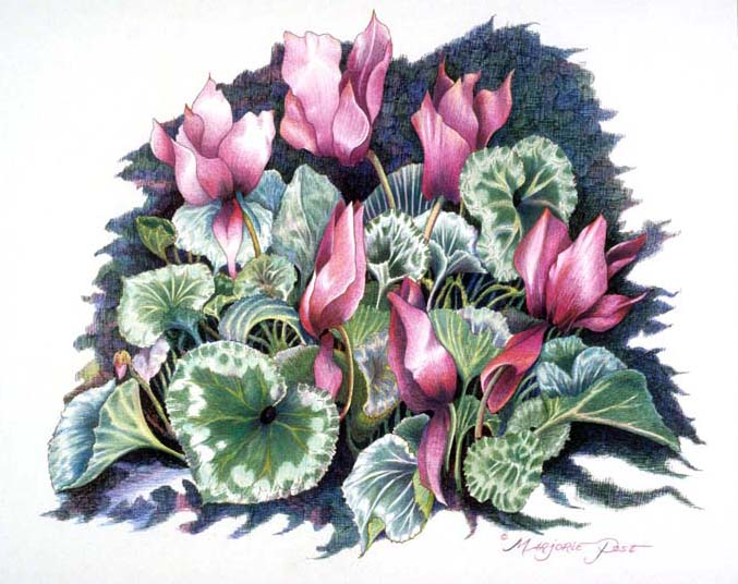Cyclamen II - SOLD